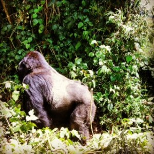 Guhonda, Silverback of the Sabyinyo Group, Volcanoes National Park, Rwanda  ©Julie Stein