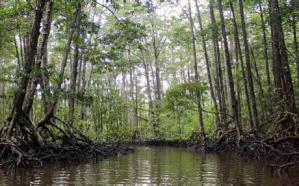 Mangrove photo2
