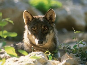 Canis lupus Italicus, photo © Dr. Duccio Berzi