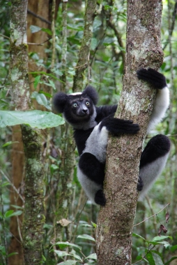 Indri Lemur, photo courtesy of M. Pedrono