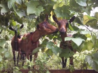 goats in vines