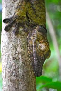 Leaf Tailed Gecko KB